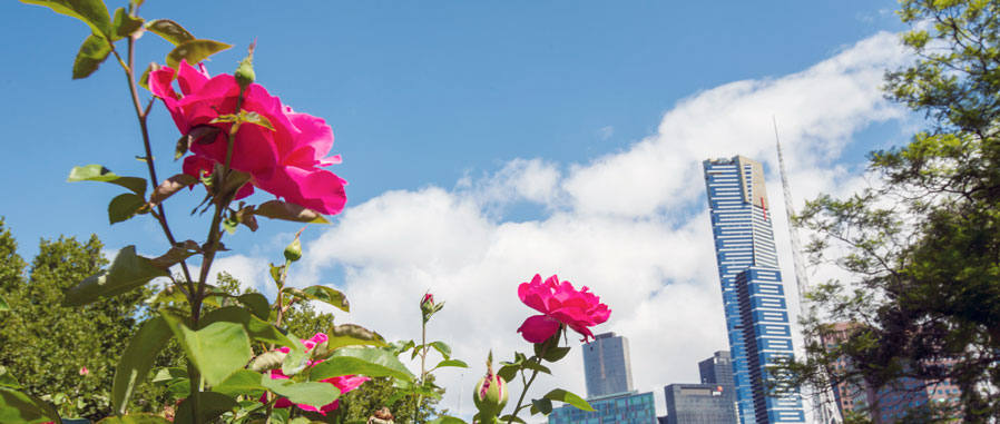 View of Eureka Tower and other high-rise buildings, pink roses in the foreground