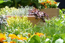 Garden of mixed lettuces, herbs and orange flowers
