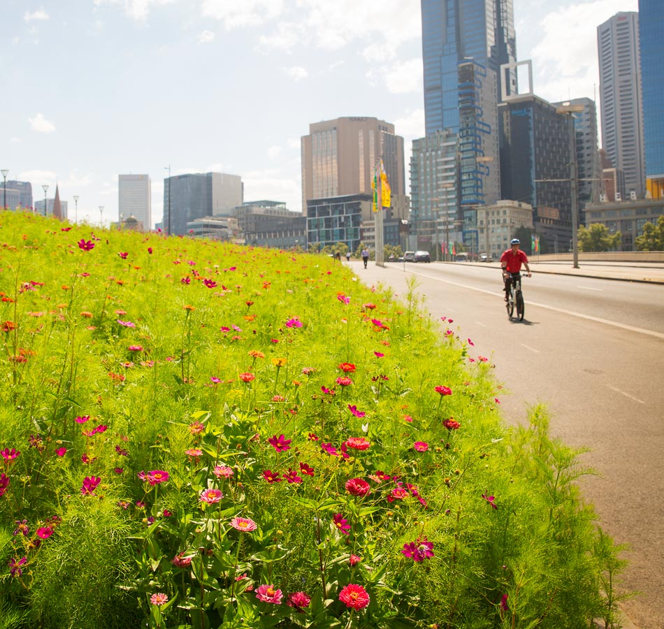 A cyclist going past a mass of flowering plants near the central city